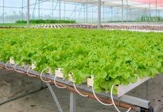 Piantagione verde idroponica delle verdure della lattuga di foglia Fotografie Stock Libere da Diritti