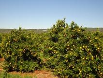 Piantagioni arancio sulla costa di Algarve nel Portogallo Lagos, Faro, Albufeira, Loulé, fotografie stock libere da diritti