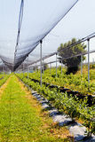 piantagioni del mirtillo Fotografia Stock