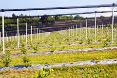 piantagioni del mirtillo Immagine Stock
