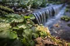 Piantagioni del Wasabi in acqua corrente nella foresta Immagine Stock