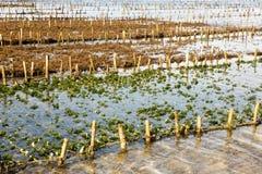 Piantagioni dell'alga, Nusa Penida, Indonesia Fotografia Stock