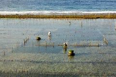 Piantagioni dell'alga, Nusa Penida, Indonesia Fotografie Stock