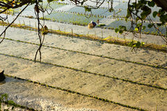 Piantagioni dell'alga, Nusa Penida, Indonesia Immagine Stock Libera da Diritti