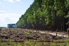 Piantagioni dell'eucalyptus immagini stock libere da diritti