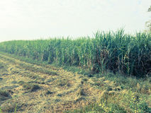 Piantagioni della canna da zucchero Fotografia Stock