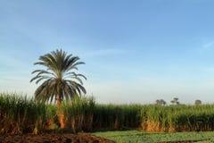 Piantagioni della canna da zucchero nell'Egitto Fotografia Stock Libera da Diritti