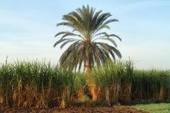 Piantagioni della canna da zucchero nell'Egitto Fotografie Stock Libere da Diritti