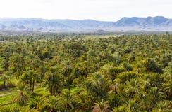 Piantagioni della palma da datteri nel Marocco immagini stock