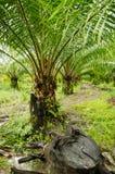 Piantagioni della palma da olio Fotografie Stock