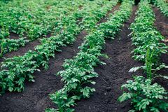 Piantagioni della patata dell'orto fotografie stock libere da diritti