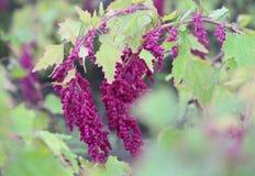 Piantagioni della quinoa in campagna Immagini Stock Libere da Diritti