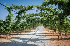 Piantagioni della vigna in Mallorca Inca, Mallorca, Spagna fotografie stock