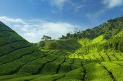 Piantagioni di tè Fotografia Stock Libera da Diritti