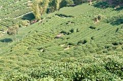 Piantagioni di tè immagini stock