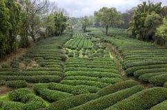 piantagioni di tè Fotografie Stock Libere da Diritti