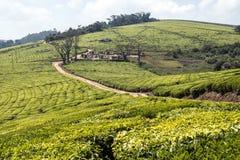 Piantagioni di tè africane fotografia stock libera da diritti