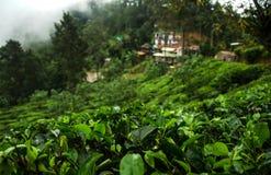 Piantagioni di tè, alpeggio, Sri Lanka Fotografia Stock Libera da Diritti