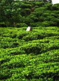 Piantagioni di tè, alpeggio, Sri Lanka Immagini Stock Libere da Diritti
