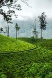 Piantagioni di tè, alpeggio, Sri Lanka Fotografie Stock