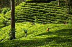 Piantagioni di tè, alpeggio, Sri Lanka Fotografie Stock Libere da Diritti