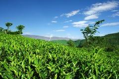 Piantagioni di tè degli altopiani in Haputale, Sri Lanka Immagini Stock