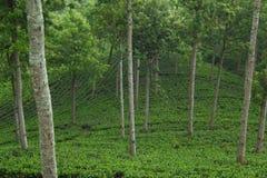 Piantagioni di tè del Ceylon Fotografia Stock Libera da Diritti
