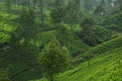 Piantagioni di tè del Ceylon Fotografia Stock