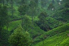 Piantagioni di tè del Ceylon Immagini Stock