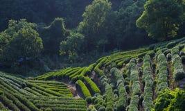 Piantagioni di tè di Longjing Fotografia Stock