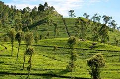 Piantagioni di tè durante l'alba, Srí Lanka fotografie stock