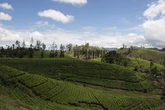 Piantagioni di tè e della collina Ella, Sri Lanka Immagine Stock