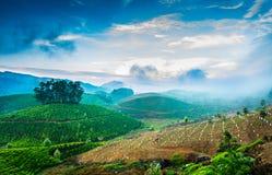 Piantagioni di tè in India Fotografia Stock Libera da Diritti