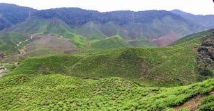 Piantagioni di tè in Malesia immagine stock