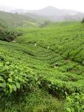 Piantagioni di tè in Malesia Immagini Stock