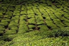 Piantagioni di tè in Malesia, altopiani di Cameron Fotografie Stock Libere da Diritti
