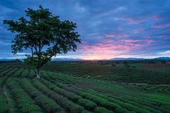 Piantagioni di tè nell'ambito dell'alba Fotografia Stock