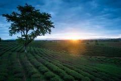 Piantagioni di tè nell'ambito dell'alba Fotografia Stock Libera da Diritti