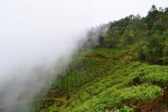 Piantagioni di tè sopra le montagne verdi con le nuvole bianche - sfondo naturale Fotografia Stock Libera da Diritti