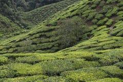 Piantagioni di tè su Cameron Highlands Tanah Rata, Malesia Immagine Stock
