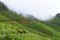 Piantagioni di tè su Misty Hills in India - paesaggio e fondo naturali Fotografia Stock Libera da Diritti
