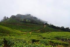 Piantagioni di tè su terra e sulle colline - agricoltura del tè in India Immagine Stock