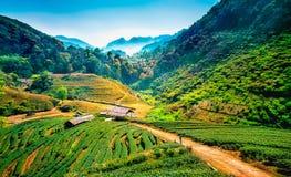 Piantagioni di tè sulla montagna Fotografia Stock