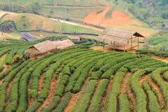 Piantagioni di tè sulla montagna del angkhang Fotografia Stock Libera da Diritti