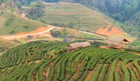 Piantagioni di tè sulla montagna del angkhang Fotografie Stock
