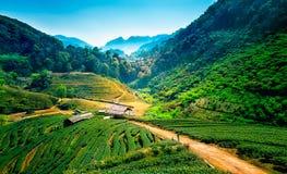 Piantagioni di tè sulla montagna del angkhang, Chiang Mai, Tailandia Immagini Stock Libere da Diritti