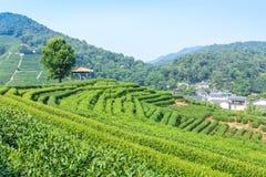 Piantagioni di tè verde immagine stock libera da diritti