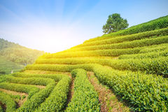 Piantagioni di tè verde fotografia stock libera da diritti