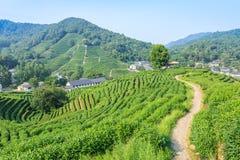 Piantagioni di tè verde fotografia stock
