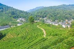Piantagioni di tè verde immagini stock
